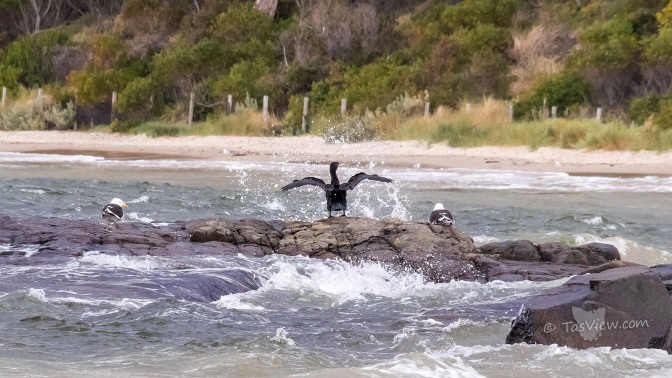 A cormorant on a rock tries to dry his wings but is getting splashed by water as two gulls watch on.