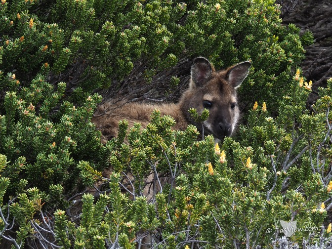 A wallaby peeking out behind shrubs.