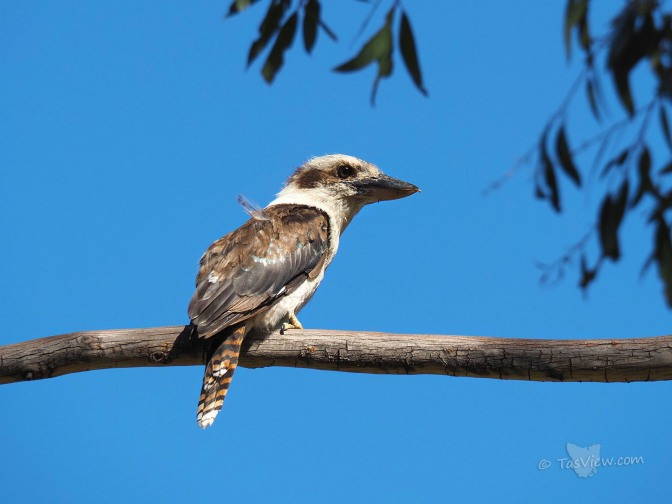 Kookaburra sits on a gumtree branch.