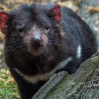 Devils, Quolls and Wombats