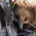 Echidna encounter