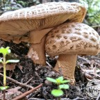 Trail fungi