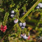 Autumn Alpine Berries and Blooms