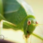 Leaf Critter – Katydid