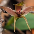 Orchid – Chiloglottis triceratops