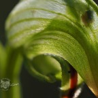Nodding Greenhood